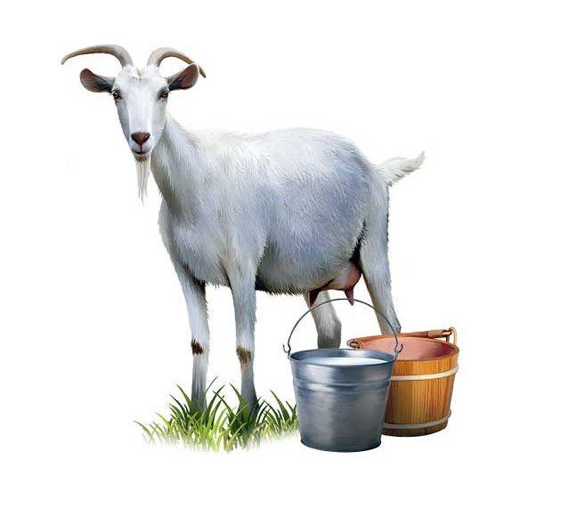 Keçi sütünü tanýyalým